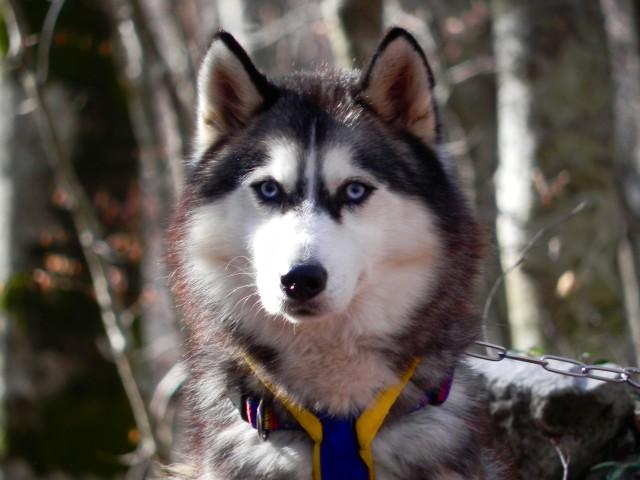 Allevamento Di Siberian Husky